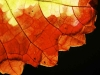 Leaf in autumn
